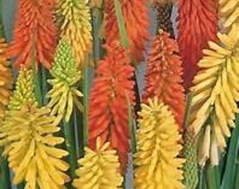 Torch Lily  Flamenco   Red Hot Poker  Kniphofia uvaria