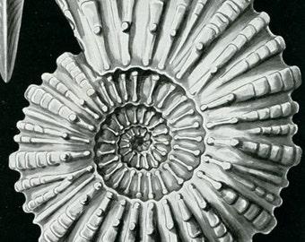Marine Mollusk, Mollusk Fossil, Marine Fossil, Fossil Mollusk, Mollusk Shells, Fossil Shells, Shells Fossil, Shells Marine, Marine Shells