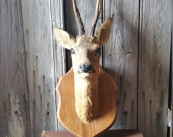 French Vintage Taxidermy Deer Head with Antlers  -  Vintage Taxidermy Mounted Deer's Head