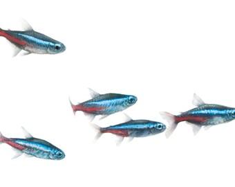 "School of Neon Tetras 12"" x 4"" Print, Colorful Tropical Freshwater Fish, Minimalist Aquarium Art, Panoramic Photo, Red, White and Blue"