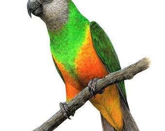 Senegal Parrot A4 size Limited Edition Archival print