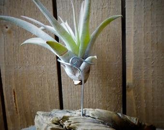 Driftwood airplant holder
