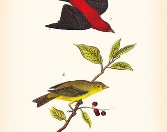 1890 Audubon Bird Print - Scarlet Tanager - Vintage Antique Book Plate for Natural Science or History Lover Great for Framing 100 Years Old