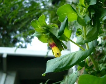 Lesser Honeywort Seeds (Cerinthe minor)
