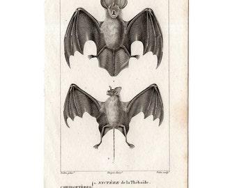 1816 ANTIQUE BAT ENGRAVING original antique print from 1816  - cheiroptera vampire bat - flying fox - fruit bat - chauve souris - no. 3