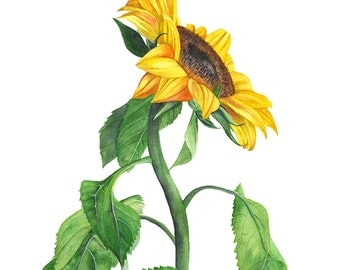 Sunflower watercolour painting print, S111216, A4 size, sunflower watercolor print, botanical wall art, botanical art, flower print
