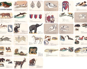 Mammals (7th Grade Zoology), Drawings by V. Fedotov, Y. Artsiminev. Complete Set of 32 Cards in original cover -- 1971