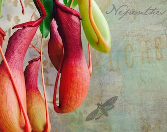 Butterfly Nepenthes Natural History Carnivorous Plant Fine Art Print Altered Photograph