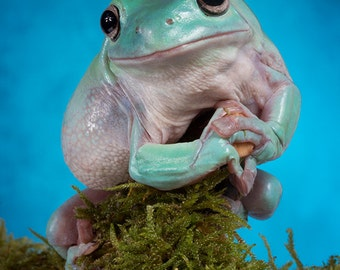 Large print of an adorable Whites tree frog against a blue background