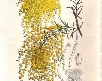 Vintage Botanical Print - Acacia riceana (Rice's wattle)