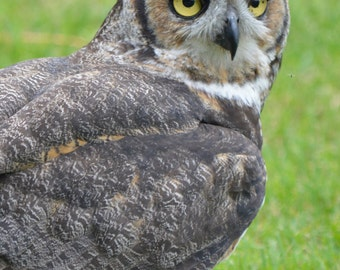 Photo of the great horned owl, the largest owl in Quebec