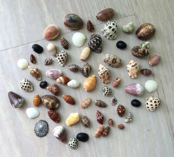 Bulk hawaiian sea shells small sea shells seashell craft for Tiny shells for crafts