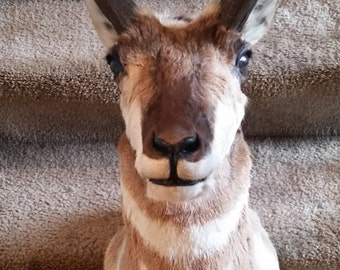 Large Pronghorn Antelope/Deer Taxidermy Shoulder Mount Wonderful Beautiful Animal