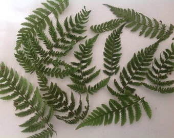 50 tiny wild fern fronds Wedding flowers Tropical plants Preserved leaves Preserved flowers Fern decor Fern art Nature crafts Dried leaves