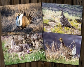 Greater Sage Grouse & Sharp-tailed Grouse 5x7 Cards - Set of 4, photo greeting cards