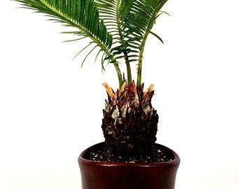 "Sago Palm - 4.5"" Ceramic Pot (Free Shipping!)"