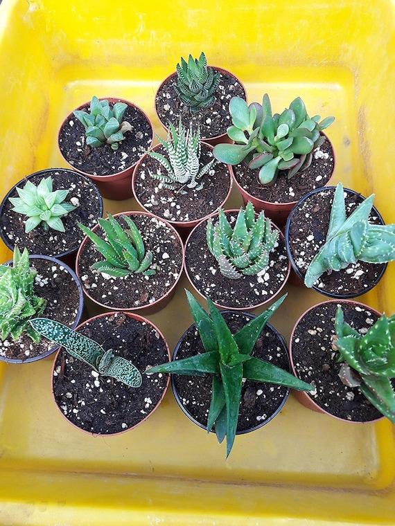 Haworthia Collection 10 Plants Easy To Grow Hard To Kill