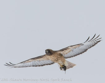 Red Tailed Hawk soaring with mouse