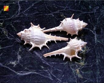 "3 Beautiful Unique Murex Turnispina Shells 2""-3"" Real Sea Shells Beach Craft"