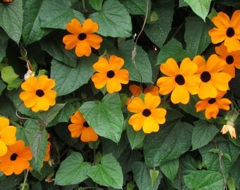Black Eyed Susan Vine ( 10 thru 640 seeds) elata Texas Florida Louisiana #80
