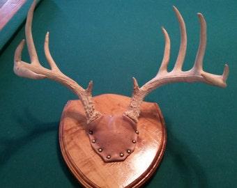 Deer Antler Mount 11pt.