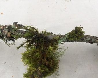 Live tree lichen  moss - lichen branch garden - 6 thin branches