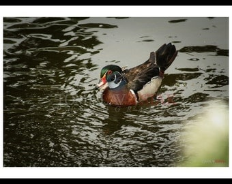 Nature photography-  duck