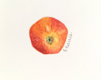 original watercolor - gala apple bottom