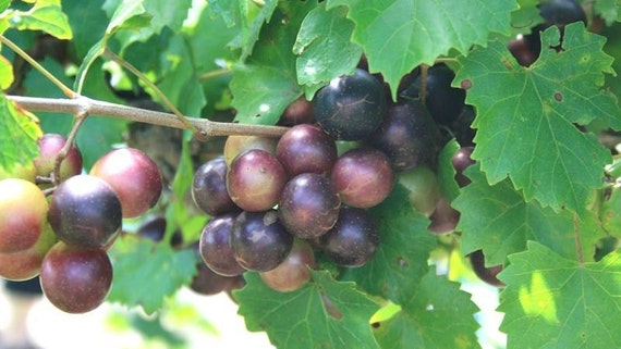 how to grow muscadine grapes from cuttings