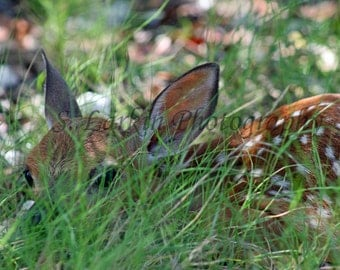 Deer photography wildlife photography nature photography fawn photography fine art photography cute photography baby photography fawn deer