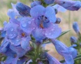 Blue Violet Beardtongue Penstemon Flower Seeds/Angustifolius/Perennial    20+