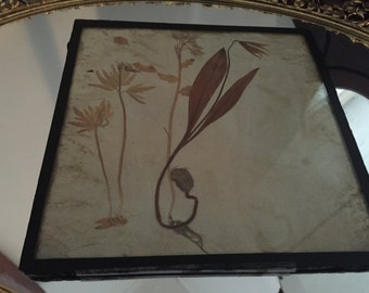 Vintage circa 1920's Framed Horticulture Toothwart Flower Glass Encased Price SLASHED