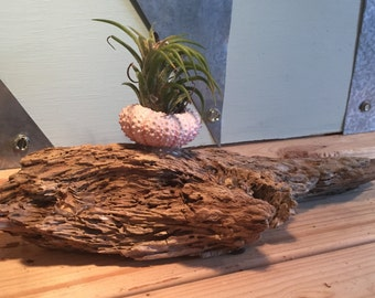 Air plant in urchin on driftwood