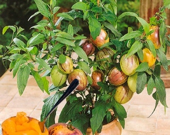 how to grow bonsai orange tree seeds