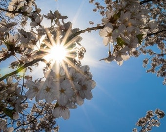 Cherry Blossoms, Flower, Tree, Sun, Nature Photography