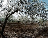 "Israel, ""Almond Orchard"" Color Landscape Print Photograph on Mini Canvas   *FREE SHIPPING"