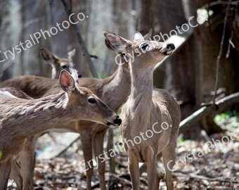 Deer; Deer Photography; Nature Photography; Animal Photography; Digital Download; Brown; Digital Photography; Does; Woods; Forest; Trees