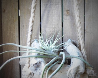 Hanging air plant arrangement, tillandsia, houseplant, indoor plant