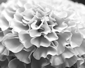 Black and White Marigold, flower photography, wall art