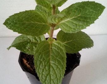 Mojito Mint, Mentha x villosa 1 Live Seedling Plant