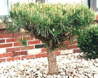 Japanese Red Pine 10 Seeds Bonsai/Garden