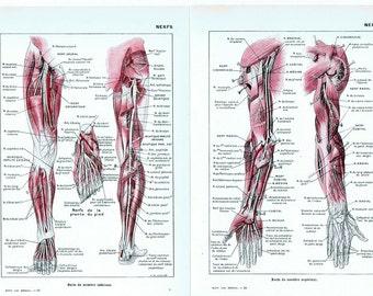 Nervous system.Anatomy,Anatomical.Skeleton.Medical Illustration.French.Book Page.Original.Colour.Color.Vintage.doctor,nurse.nerve.nerf.deco