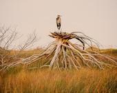 Fine Art Photography, Bird Photography, Beach Photograph, Great Blue Heron on Driftwood, North Carolina Photography