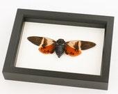 Mounted Orange Tropical Cicada Display