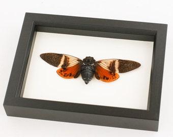 Mounted Orange Tropical Cicada Display angamiana floridula