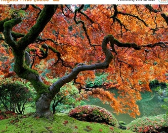 SALE - Ships Aug 27 - Autumn Photo Fall Colors Red Maple Japanese Garden Photograph Autumn Colors Red Leaves Tree nat3