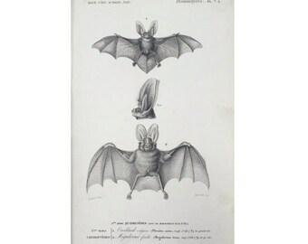 1849 ANTIQUE BAT ENGRAVING original antique black and white flying fox pteropus chiroptera - oreillard vulgaire & megaderme feuille