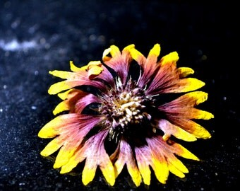 Firewheel Dried Flower - Indian Blanket Flower - Yellow and Red - Daisy - Sunflower