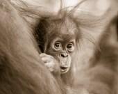 BABY ORANGUTAN Sepia Phot...