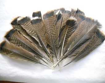 Group of 25 Adult Male Turkey Tail Feathers